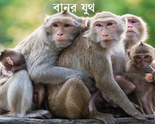 বানর যুথ