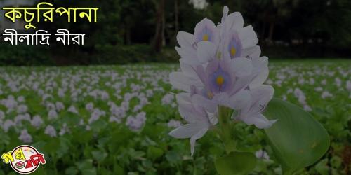 কচুরিপানা